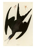 Frigate Pelican Reproduction procédé giclée par John James Audubon