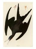 Frigate Pelican Giclee Print by John James Audubon