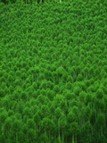 Japanese cedar forest. Nakagawa-machi, Kyoto Prefecture, Japan Photographic Print