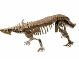 Skeleton of a Desmatosuchus from the late Triasssic Photographic Print by Ira Block