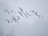 Flock of Black-headed gull flying in blizzard Photographic Print by Andrew Parkinson