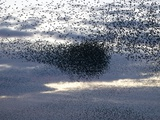 Mass of Starlings flying at twilight Photographic Print by Andrew Parkinson