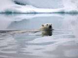 Polar Bear Swimming in Svalbard Islands Photographic Print by Paul Souders