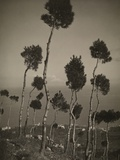 A Garden of Stone Pines on a Caprian Hill Photographic Print by Morgan Heiskell