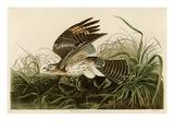 Winter Hawk Giclée-tryk af John James Audubon