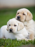 Yellow labrador retriever puppies Photographic Print by Ron Dahlquist