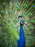 Screaming peacock Photographic Print by Grafton Smith