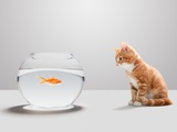 Kitten looking at goldfish in bowl Photographic Print