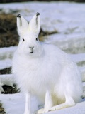 Adult Arctic Hare (Lepus Arcticus), Banks Island, Northwest Territories, Arctic Canada Photographic Print by Wayne Lynch