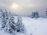 Snow covered spruce trees near arctic circle in late fall Photographic Print by Theo Allofs