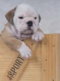 Bulldog in Wooden Box Photographic Print by Akira Matoba