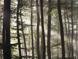 Sunbeams through a beech forest Photographic Print by Frank Krahmer