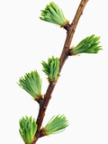 Larch branch with nascent blossoms Photographic Print by Frank Krahmer