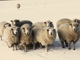 Sheep in winter Fotoprint van Edvard March