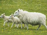 Ewe and lambs Photographic Print by Kevin Schafer