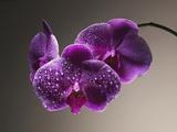 Gotas de agua sobre orquídeas Lámina fotográfica