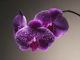 Vattendroppar på orkidéer Fotografiskt tryck