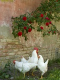 White chickens beneath roses Photographic Print by Mark Bolton