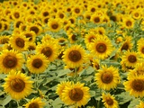 Field of Sunflowers, Full Frame, Zama City, Kanagawa Prefecture, Japan Photographic Print