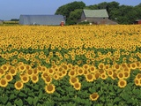 Sunflowers and Farm, Dugald, Manitoba, Canada. Photographic Print by Mike Grandmaison