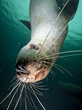 Curious Steller Sea Lion Swimming Underwater Photographic Print by Paul Souders