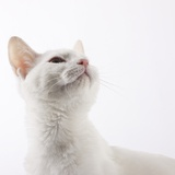 White cat looking up Photographic Print by Michael Kloth