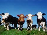Fila di mucche al pascolo Stampa fotografica di Doyle, Pat