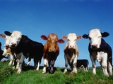 Line of Cows in Pasture Photographic Print by Pat Doyle