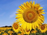 Close Up of Sunflower in Field Photographic Print by Jeremy Woodhouse