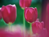 Tulips Photographic Print by Frank Krahmer