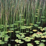 Reed and Water Lillies in Pond, Arcadia National Park, Maine Photographic Print by Micha Pawlitzki