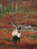 Barren-Ground Caribou on Autumn Tundra near Whitefish Lake, NWT, Canada Photographic Print