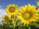Sunflowers Photographic Print by Arcangelo Piai