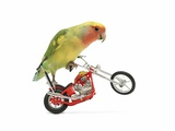 Rosy-faced lovebird perched on toy motorcycle do wheelie Photographic Print by Martin Gallagher
