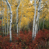 Aspen in autumn at Uinta National Forest Photographic Print by Micha Pawlitzki