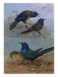 Painting of purple grackles and boat-tailed grackles Giclee Print by Allan Brooks