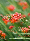 Raindrops on crocosmia x crocosmiiflora, or red king Fotografisk tryk af Clive Nichols