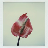 Anthurium Flower Photographic Print by John Kuss