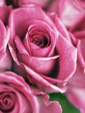 Pink roses Photographic Print by Frank Krahmer