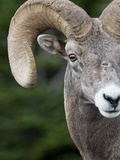 Bighorn Ram (Ovis Canadensis), Logan Pass, Glacier National Park, Montana Photographic Print by Roberta Olenick