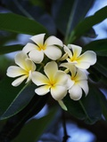 White frangipani flower Photographic Print by Bruno Ehrs