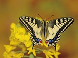 Swallowtail butterfly sitting on flower Photographic Print by Erich Kuchling