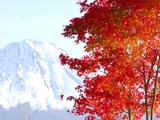 Mt. Fuji and Japanese maple tree in autumn, Yamanashi Prefecture, Honshu, Japan Photographic Print