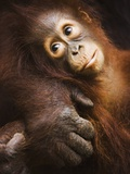 Baby orangutan Photographic Print by Theo Allofs