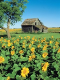 Sunflower Field, Old House, Beausejour, Manitoba, Canada. Photographic Print by Dave Reede