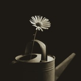 Single Daisy in Antique Watering Can Photographic Print by Tom Marks