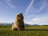 Brown Bear in Meadow at Hallo Bay in Katmai National Park Photographic Print by Paul Souders