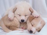 Studio Shot of Two Puppies Sleeping Photographic Print by Akira Matoba