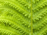 Cinnamon Fern (Osmunda Cinnamomea) Detail of Emerging Fronds, Lively, Ontario, Canada. Photographie par Don Johnston