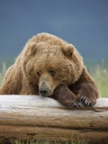 Grizzly Bear Resting on Log at Hallo Bay Photographic Print by Paul Souders